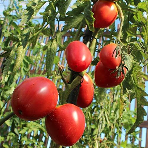Ochsenherz Coeur de Boeuf Tomatensamen für ca. 10 Pflanzen - beliebte Fleischtomate