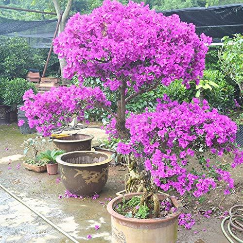 Pinkdose 100 Stücke Lila Bougainvillea Glabra Bonsai Spectabilis Willd Bonsai Pflanze Bouganvilla Bonsai Blume Topf plan