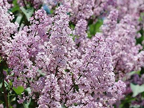 100pcs/paquet Graines Blanc Lilas japonais (très odorants) graines de fleurs de clou de girofle pour la maison et le jardin 20