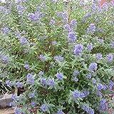 Caryopteris clandonensis'Heavenly Blue' | Bartblume | Blaue Blüte | Höhe 25-30cm | Topf-Ø 17cm
