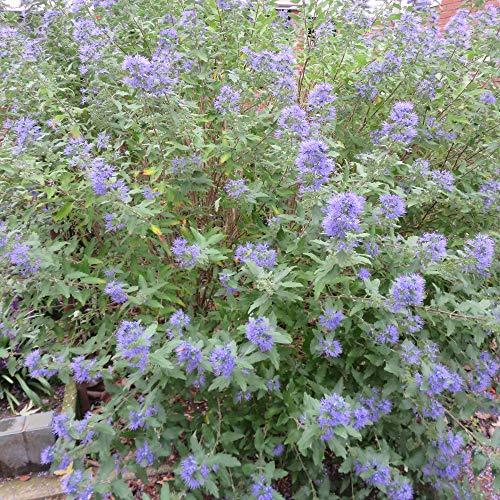 Caryopteris clandonensis'Heavenly Blue'...
