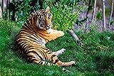 Diy Puzzle 1000 Piezas Tiger Descansando Sobre La Hierba Verde Ensamblado Decoracin Juego Familiar Regalos Y Juguetes Educativos Para Nios Adultos