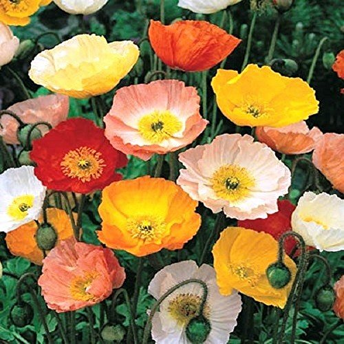 200 Graines semence fleur coquelicot pavot coloris pastel mix shirley mixed rouge orange jaune