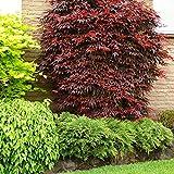 Acer Palmatum'Atropurpureum' | Acero giapponese | Arbusto ornamentale | Altezza 25-30cm | Vaso Ø 13cm
