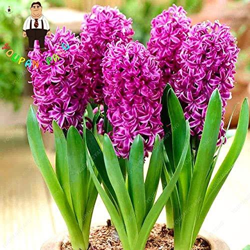 Shopvise Samen 50Pcs Bunte Hyazinthe Samen Perennial Hyazintheblume Indoor-Samen Easy Grow In S Samen oder Heim & Garten: Violet