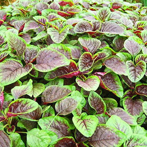 Semillas de amaranto rojo, semillas de amaranto, semillas de amaranto, semillas de hortalizas, 300 granos