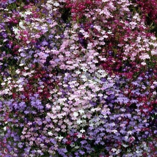 Trailing Lobelia Mixed Colours Plants 6 Pack Garden Ready Plants