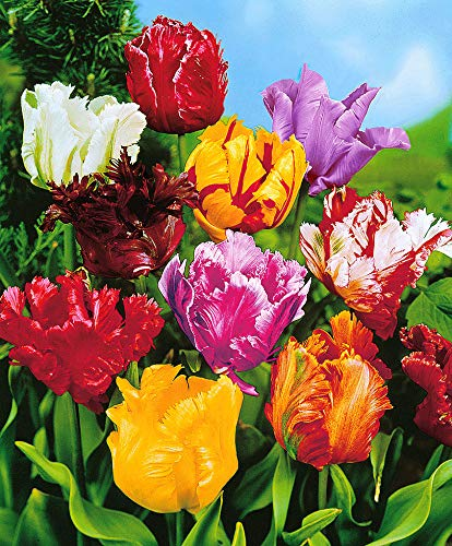 "25x Tulipa\""Parkiet\"" | 25er Mix Tulpen Zwiebeln | Gefüllte Blüte | Tulpenzwiebeln Winterhart Mehrjährig | Ø 10cm"