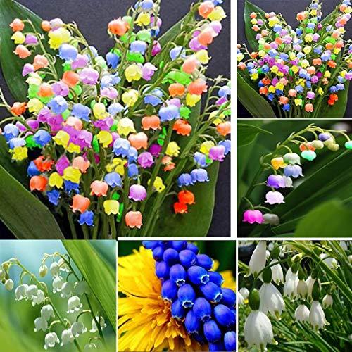 Cioler Bell-Orchidee Samen Raritäten Maiglöckchen Blumenzwiebeln Multifarben Blumensamen mehrfabrig Zierblumen Bonsai winterhart mehrjährig duftend
