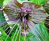 CROSO Keim Seeds Nicht NUR Pflanzen: 5 Samen Bat Blume