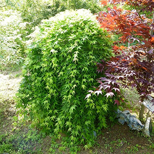 Acer palmatum'Ryusen' | Japanese Maple Tree | Acer Plant | Ornamental Shrub | Height 65-75cm | Pot Ø 19cm