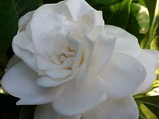 Gardenia Mystery Qty 30 Live Plants Flowering Shrub