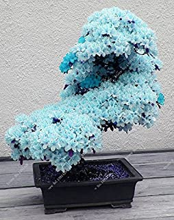 15pcs / azul semillas de sakura japonés raros, Bonsai flor