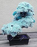 15pcs / azul semillas de sakura japonés raros, bonsai flor de cerezo ornamental - planta