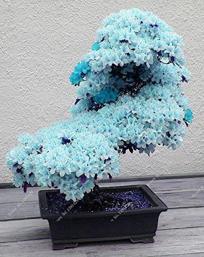 15pcs / bleu rares graines de sakura japonais, Bonsai fleur de cerisier ornemental - plante