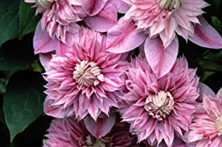 Clematis Josephine 1 Starter Plant 2.5 Inch Pot Quality Online Plants