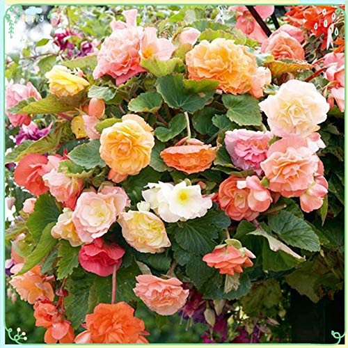Rare Flower Plant Seeds 200+ Begonia (Tuberous) Seeds - Parisienne Trailing Mix