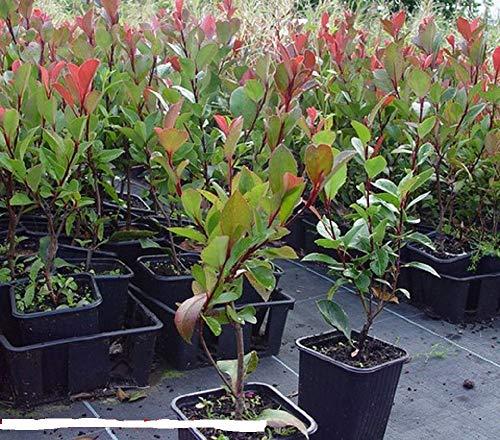 immergrüne Zwerg - Glanzmispel Photinia fraseri Little Red Robin 40-60 cm hoch im 3 Liter Pflanzcontainer