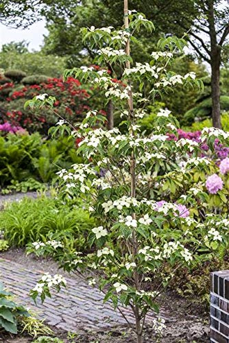 Japanischer Blumen Hartriegel Cornus kousa chinensis 'China Girl' im Topf gewachsen ca. 60cm
