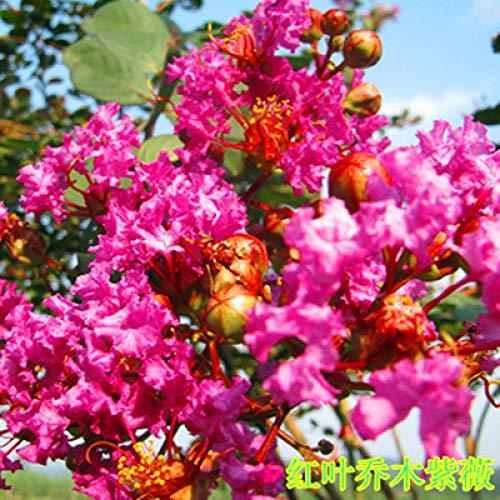 promworld vivaces graines Fleurs ornementales,Plantes de Jardin Décoration,Graines de Lagerstroemia-2kg_B