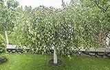 Betula pendula, Weißbirke / Hängebirke 10 Samen Garten/Bonsai