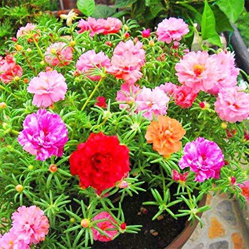 Moss Rose Semi di fiori di colore misto 100+ Portulaca ornamentale Grandiflora Fiori Semi Bonsai Semi per giardino domestico Bonsai Piantare