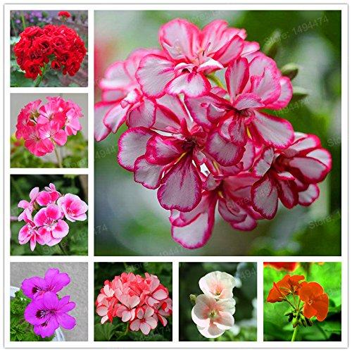 5pcs Couleurs multiples Variétés Géranium Graines Bonsai Pelargonium vivaces Graines de fleurs Hardy Patio Plante Plante en pot bricolage 08