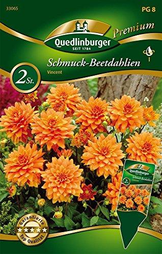 Quedlinburger 33065 Schmuck-Beetdahlie Vincent (2 Stück) (Dahlienzwiebeln)