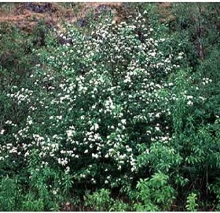 Black Hawthorn Tree Seeds, Crataegus Douglasii