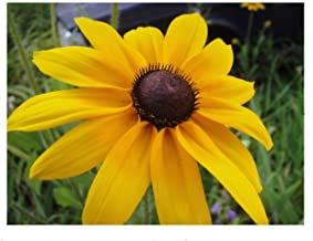 Black Eyed Susan Flower Seeds, 3000+ Premium Heirloom Seeds, (Yellow Daisy Family), ON SALE!, 99% Purity, 85% Germination, (Isla's Garden Seeds) - Total Quality!