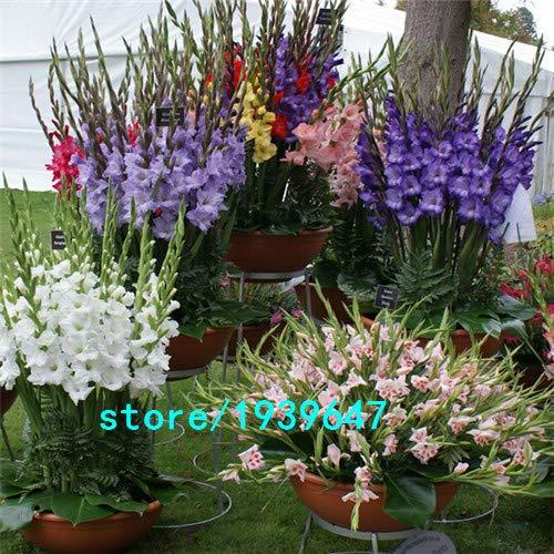 Bloom Green Co. Vente chaude Graines Jaune glaïeul Jardin et Patio Jardin Fleurs en pot Gladiolus Graines de fleurs vivaces 100PCS: 6