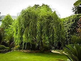Golden Curls Corkscrew Weeping Willow Tree - Trade Gallon Pot