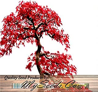 4 Packs x 10 Red Maple Tree Seeds - Acer Rubrum - Excellent for Japanese Bonsai - Grows in Full Sun Or Partial Shade - Zones 5-9 - by Myseeds.Co