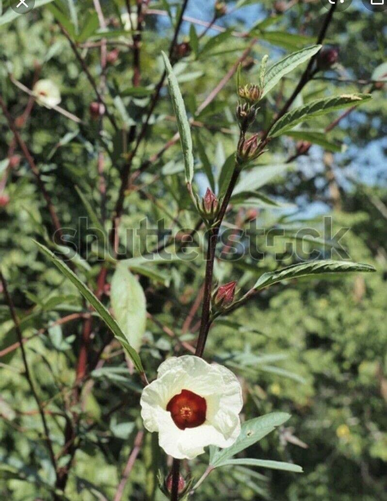 NP Selling and selling - Jamaican Sorrel Roselle Hibiscus New arrival sabd Leaf Gongura Sour