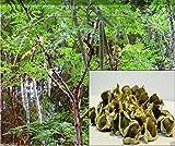 10 Seeds Moringa Seeds-drumstick Tree, Tree of Life or the Miracles Tree-moringa Oleifera