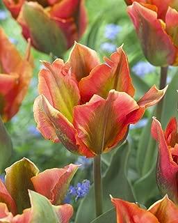 Van Zyverden 87023 Tulips Artist Set of 12 Bulbs, 12 cm/+, Pink with Red