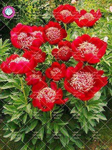 10pcs graines Big pivoine fleur graines rouges fleur de pivoine rose chinoise belles graines de bonsaï plante en pot pour la décoration de jardin à la maison