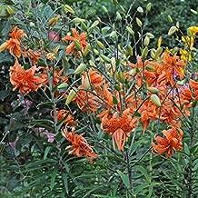 50 Bulb of Lilium Species Lancifolium Flore Pleno - Lily