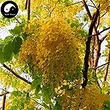 GETSO Samen-Paket: Kaufen Sophora Xanthantha Seed Semente 120pcs Seed Sophora Xanthantha Guo Huai