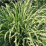 100 semi PIRETRO DAISY naturale repellente della zanzara Facile Semi coltivazione dell'erba