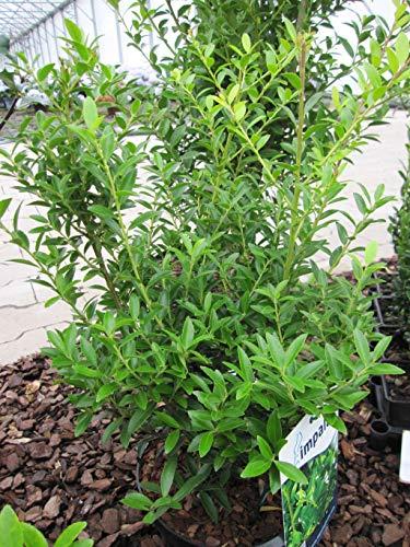 Ilex maximowicziana var. kanehirae impala - japanischer Ilex