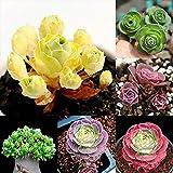 Semillas Semillas de montaña Rose, 100 piezas de montaña Rose viables florales Bonsai no GMO suculentas flores de plantas de semillero para jardinería Ideal regalo al aire libre
