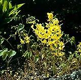 Schwefelgelb Elfenblume Elegans - Epimedium pinnatum