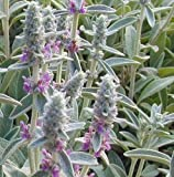 2x Lamb's Ear STACHYS BYZANTINA-Ground Cover PERENNIAL Purple Flower...