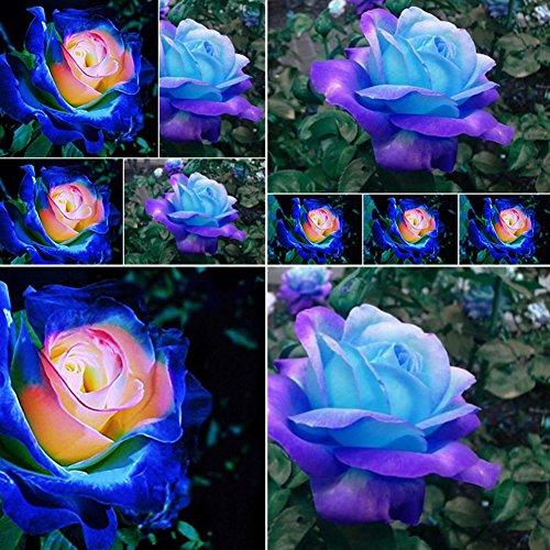 50 Stück seltene blaue Rosen Pflanzen Samen Balkon Garten Topfrosen Samen