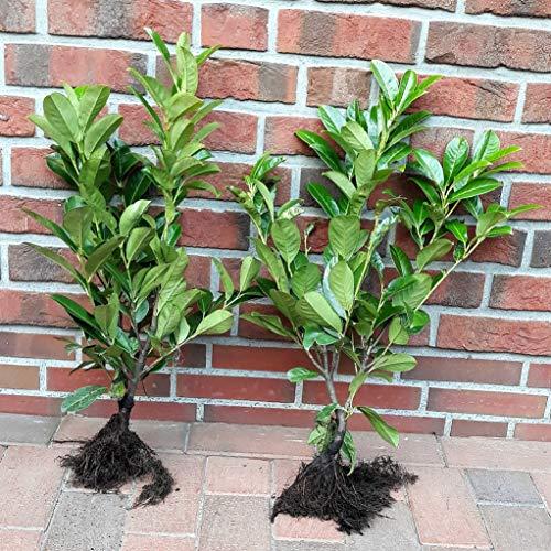 30 Kirschlorbeer Pflanzen (Höhe: 60-70 cm), Prunus Rotundifolia, kräftige Heckenpflanzen