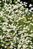 Silber Rainfarn 100 Samen, Tanacetum Niveum 'Jackpot', Mutterkraut, Graublättriges
