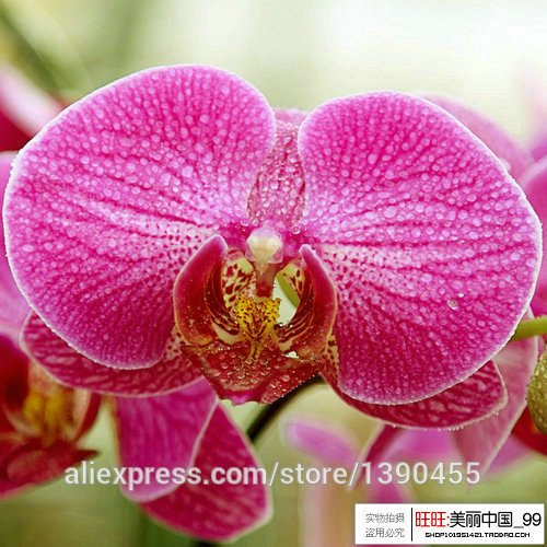 2015 New.Hot Sale! Bonsai balcon fleur papillon orchidées graines d'orchidées phalaenopsis -100 pcs graines Beau jardin