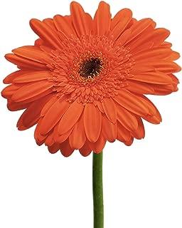 Orange Gerberas - 50 Stems