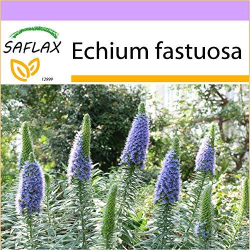 SAFLAX - Blauer - Natternkopf - 100 Samen - Echium fastuosa